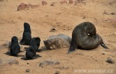 Namibie - Seal colony